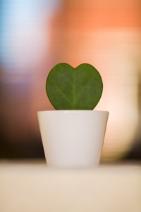 Heart shaped cactus from Ikea
